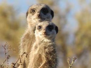 meerkat-255564_640